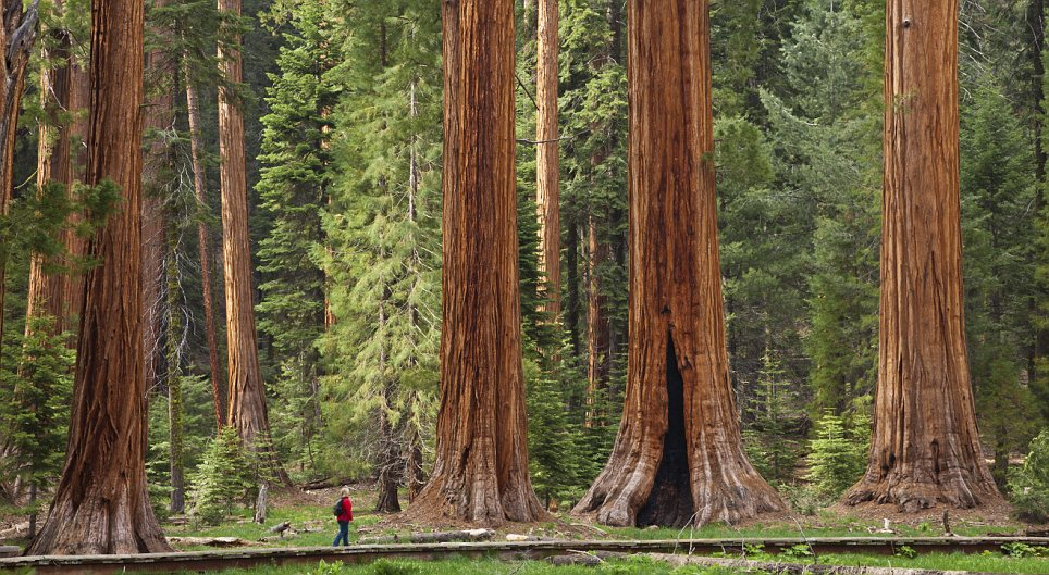 Tourist, hiker, admiring the Giant Sequoia trees, Sequoiadendron giganteum, on the Big Trees trail, Round Meadow, Sequoia National Park, Sierra Nevada, California, USA, United States of America